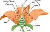 Hoe Germinate lelies